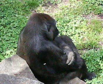 すごーく昔に撮った「悩んでいるように見えるゴリラの写真」